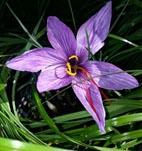 Boutique crocus sativus_safran