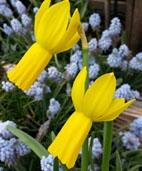 Boutique Narcissus cyclamineus Rapture
