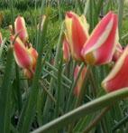 Boutique Tulipa clusiana Cynthia