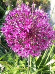 alliaceae 