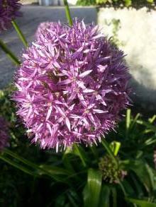 alliaceae       allium              Globemaster       ail