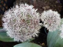 alliaceae       allium       karataviense              ail