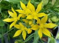 alliaceae       allium       moly       Jeannine       ail doré