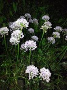 alliaceae       allium       senescens        ssp. senescens       ail