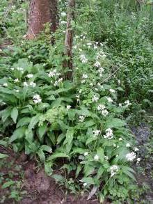 alliaceae       allium       ursinum              ail des ours