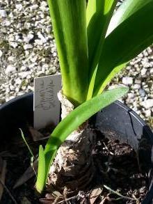 amaryllidaceae       amarine              Belladiva       amarine