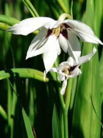 iridaceae       gladiolus       callianthus       Murielae       Acidanthera, Glaïeul d'Abyssinie