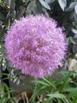 alliaceae       allium       nutans              ail