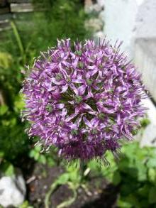 alliaceae       allium       aflatunense              ail