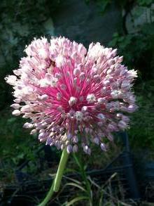 alliaceae       allium       ampeloprasum              poireau d'été, ail d'orient