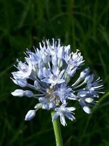 alliaceae       allium       caeruleum              ail bleu
