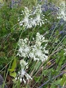 allium carinatum ssp pulchellum album