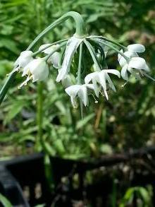 allium cernuum white dwarf