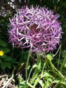 alliaceae       allium       cristophii              ail