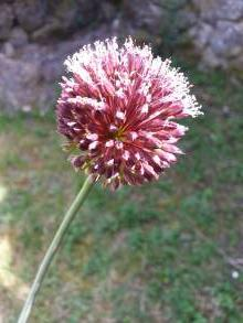 alliaceae       allium              Forelock       ail