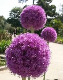 alliaceae       allium       giganteum              ail