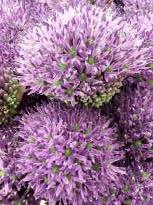 allium jesdianum early emperor 1