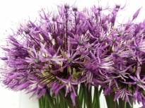 allium jesdianum early emperor 2