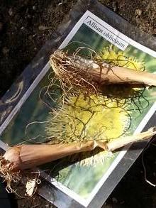 alliaceae       allium       obliquum              ail