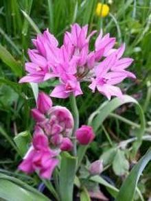 alliaceae       allium       oreophilum              ail