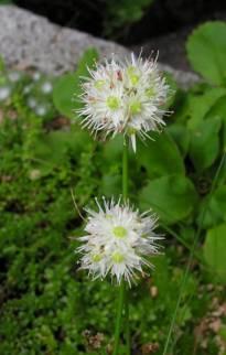 alliaceae       allium       saxatile              ail