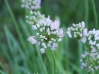 allium senescens ssp montanum1 jpg