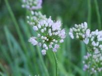 alliaceae       allium       senescens        ssp. montanum       ail des montagnes, ail des collines, ail du Portugal