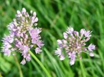 allium senescens ssp senescens3 jpg