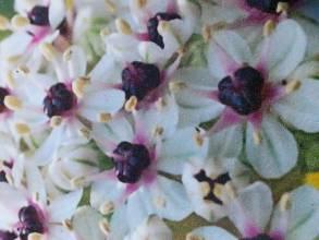 alliaceae       allium              Silverspring       ail