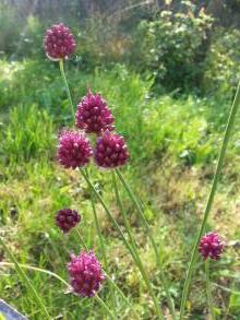 alliaceae       allium       sphaerocephalon              ail à tête ronde