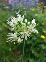 alliaceae       allium       victorialis        Cantabrica       ail de la Sainte Victoire, ail de cerf