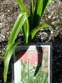 amaryllidaceae       amarine       tubergenii       Zwanenburg       amarine