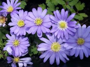 ranunculaceae       anemone       blanda       Blue Shades       anémone