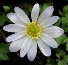 ranunculaceae       anemone       blanda       White Splendour       anémone