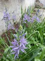 hyacinthaceae       camassia       leichtlinii        caerulea       camassia, lys des Indiens