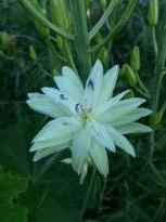 hyacinthaceae       camassia       leichtlinii        Semiplena Alba       camassia, lys des Indiens
