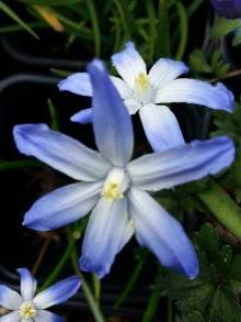 hyacinthaceae       chionodoxa       luciliae              chionodoxa