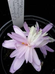 colchicum autumnale pleniflorum
