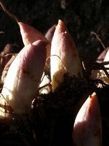 convallariaceae       convallaria       majalis       Prolificans       muguet double