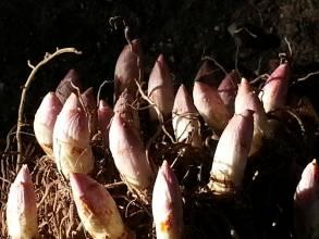 convallariaceae       convallaria       majalis              muguet