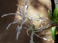 amaryllidaceae       crinum       amoenum              crinum, crinole