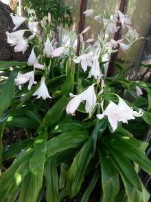 amaryllidaceae       crinum       moorei       Album       crinum, crinole