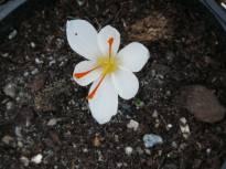 iridaceae       crocus       cartwrightianus       Albus       crocus, safran à fleurs blanches