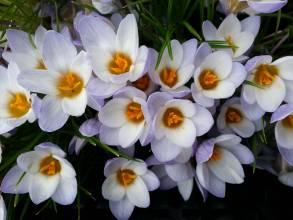 iridaceae       crocus       chrysanthus       Blue Pearl       crocus