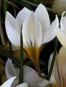 iridaceae       crocus       chrysanthus       Snow Bunting       crocus