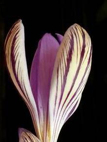iridaceae       crocus       corsicus              crocus
