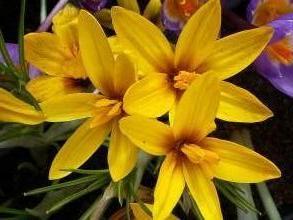 iridaceae       crocus       korolkowii              crocus