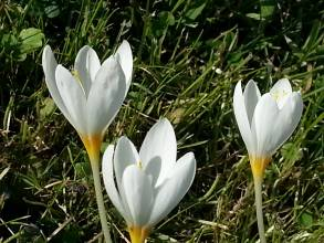 iridaceae       crocus       kotschyanus       ssp. kotschyanus       crocus