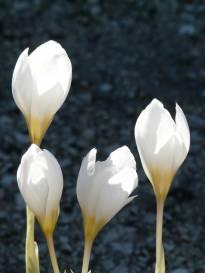 iridaceae       crocus       niveus              crocus