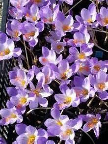 iridaceae       crocus       pulchellus              crocus